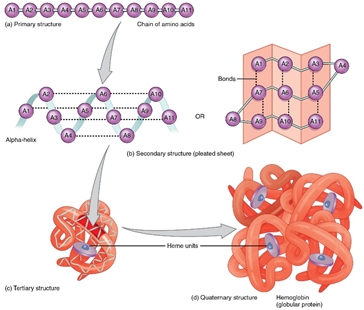 Secondary structure of proteins 1